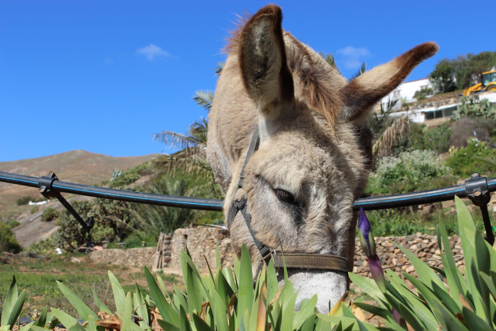 Betancuria donkey
