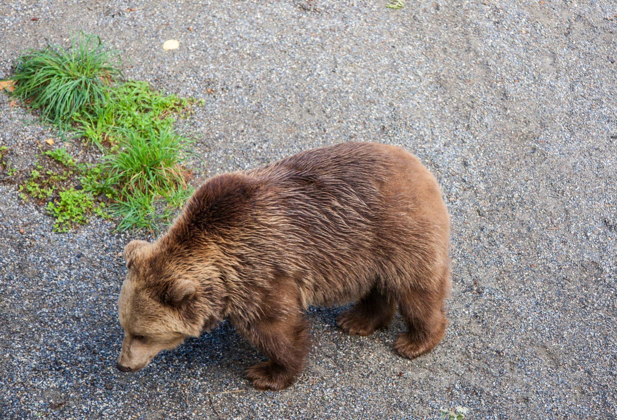 Niedźwiedzie w Bernie