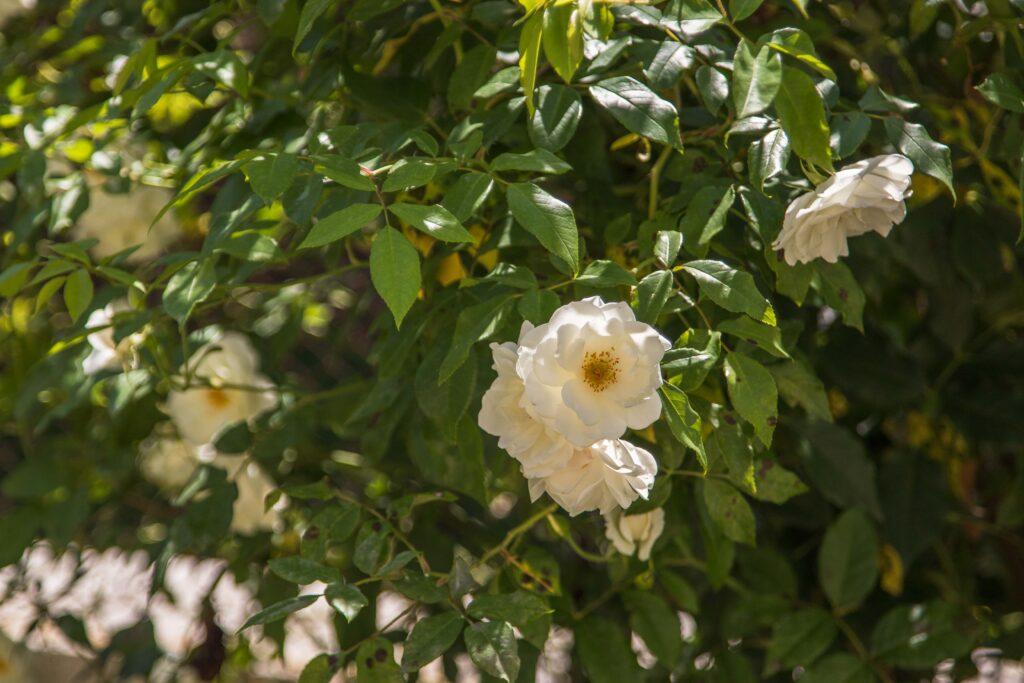 Róże w Łańcucie